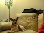 Chien Bella - Fox terrier à poil dur Femelle (4 ans)