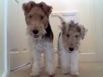 Chien Brandy et Milou - Fox terrier à poil dur Femelle (3 ans)