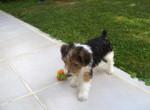 Chien fox terrier a poil dur       diego - Fox terrier à poil dur Femelle (0 mois)