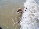 Chien Fox-Terrier à poil dur: Chelines Magic Moment dite Vega - Fox terrier à poil dur Femelle (0 mois)