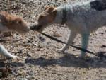 Chien Fox-terrier à poil dur: Vega et Raglou - Fox terrier à poil dur  (0 mois)