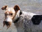 Chien Fox-terrier à poil dur: Raglou  - Fox terrier à poil dur  (0 mois)