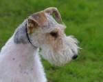 Chien Jeune Fox Terrier à poil dur : Wire - Fox terrier à poil dur  (0 mois)