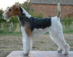 Chien Thérapie de Vallauris des Astucieux Fox à poil dur - Fox terrier à poil dur  (0 mois)