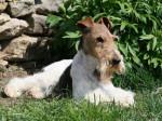 Chien Caruso des Fox d\'Elodie Fox Terrier à poil dur - Fox terrier à poil dur  (0 mois)