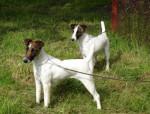 Chien Fox terriers à poil lisse de Camp Rémy - Fox terrier à poil dur  (0 mois)