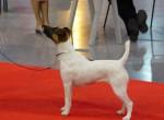 Chien Angie de Camp Rémy : fox terrier à poil lisse - Fox terrier à poil dur  (0 mois)