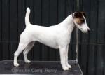 Chien Cérès de Camp Rémy : Fox terrier à poil lisse - Fox terrier à poil dur  (0 mois)