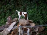 Chien capucine et nina - Fox terrier à poil dur Femelle (6 ans)