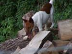 Chien capucine - Fox terrier à poil dur Femelle (6 ans)