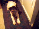 Chien Billy - Fox terrier à poil dur Femelle (8 ans)