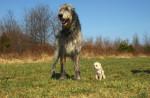Chien irish wolfhound - Lévrier irlandais  (0 mois)
