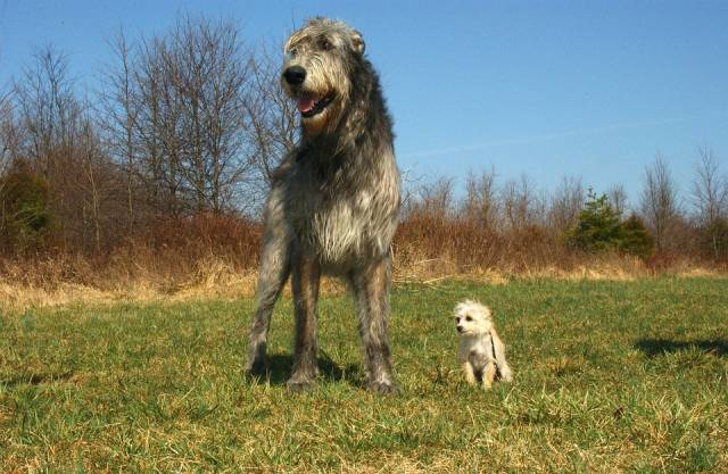 L'Irish Wolfhound