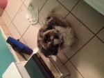 Chien Snuggles - Lhassa Apso Femelle (10 ans)
