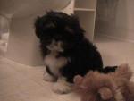 Chien Lizzy - Lhassa Apso Femelle (2 mois)