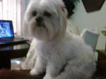 Chien NINA - Lhassa Apso Femelle (5 ans)