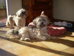 Chien Suzie et Thalys : Lhassa Apso de 3 ans et demi - Lhassa Apso Femelle (3 ans et 6 mois)