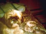 Chien Lhasa apso----nounou 3 ans - Lhassa Apso  (3 ans)