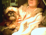 Chien Lhasa apso---nounou 3 ans - Lhassa Apso  (3 ans)