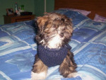 Chien charly lhassa apso - Lhassa Apso  (0 mois)