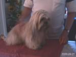 Chien dandy - Lhassa Apso Femelle (2 ans)