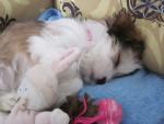 Chien Swann - Lhassa Apso Femelle (6 mois)