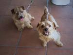 Chien  - Terrier du Norfolk  (0 mois)