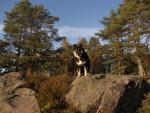 Chien Kira - Chien finnois de Laponie Femelle (2 ans)