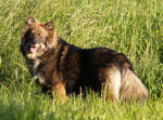 Chien chien finnois de Laponie - Rahkkasan Biija - Chien finnois de Laponie Femelle (0 mois)