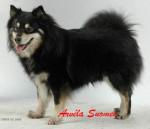 Chien chien finnois de Laponie - Saskatchewan Trail\'s Pataud appartenant à l\'élevage d\'ARVELA SUOMEN - Chien finnois de Laponie Femelle (0 mois)