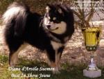 Chien chien finnois de Laponie - Diana d\'ARVELA SUOMEN appartenant à l\'élevage d\'ARVELA SUOMEN - Chien finnois de Laponie Femelle (0 mois)