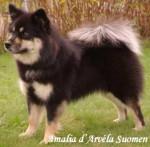 Chien chien finnois de Laponie - Amalia d\'ARVELA SUOMEN appartenant à l\'élevage d\'ARVELA SUOMEN - Chien finnois de Laponie Femelle (0 mois)