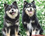 Chien chien finnois de Laponie - Amalia d\'ARVELA SUOMEN et SASKATCHEWAN TRAIL\'S Pataud appartenant à l\'éle - Chien finnois de Laponie  (0 mois)