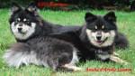Chien amalia et elie maman de mon chien falko - Chien finnois de Laponie Femelle (4 ans)