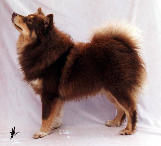 photo chien finnois de laponie lapinkoira pippin chien finnois de laponie. Black Bedroom Furniture Sets. Home Design Ideas