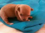 Chien Bébé chihuahua - Chihuahua Femelle (1 mois)