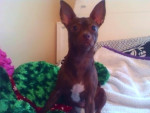 Chien Charlie - Chihuahua Femelle (2 ans)