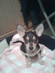 Chien Zhet - Chihuahua Mâle (0 mois)