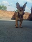 Chien Zambi - Chihuahua Mâle (0 mois)