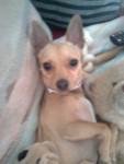 Chien Princess - Chihuahua Femelle (0 mois)
