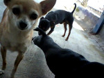 Chien marena - Chihuahua Femelle (11 ans)