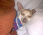 Chien Percy - Chihuahua Femelle (4 ans)
