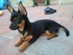 Chien cutie - Chihuahua Mâle (1 an)