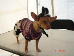 Chien nena - Chihuahua Femelle (9 mois)