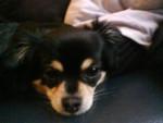 Chien fanfan - Chihuahua Femelle (9 ans)