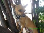 Chien max - Chihuahua Mâle (6 mois)