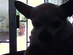 Chien bridney - Chihuahua Femelle (8 ans)
