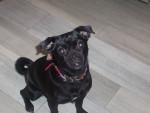Chien Mai - line - Chihuahua Femelle (3 ans)