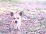 Chien cucky - Chihuahua Mâle (1 an)