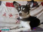 Chien oslow - Chihuahua Mâle (11 mois)